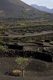 Cultivation  viticulture  winery lanzarote Royalty Free Stock Images