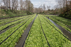 Cultivation of wasabi crops Stock Photo