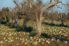 Cultivation of watermelons among olive trees Royalty Free Stock Photography