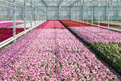 Cultivation white and purple geraniums in a Dutch Greenhouse Royalty Free Stock Photos
