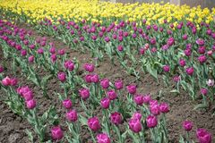 Cultivation of yellow and pink tulips. Cultivation of yellow and purplish pink tulips stock photography
