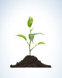 Cultivation of a young plant. Young plant on light background Stock Photos
