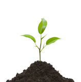 Cultivation of a young plant. Young plant on light background Royalty Free Stock Photography