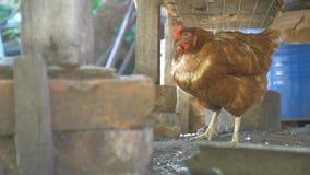Cultive al pelirrojo el pollo del pájaro en la yarda de vídeo de la cámara lenta del animal doméstico almacen de metraje de vídeo