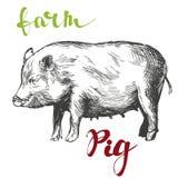 Cultive, bosquejo realista dibujado mano del ejemplo del vector del cerdo Foto de archivo