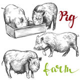 Cultive, bosquejo realista dibujado mano determinada del ejemplo del vector del cerdo Fotografía de archivo libre de regalías