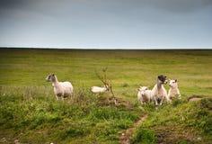 Cultive carneiros na paisagem no dia de verão tormentoso Foto de Stock