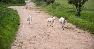 Cultive carneiros na paisagem no dia de verão tormentoso Fotografia de Stock