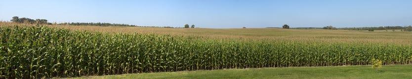Cultive el campo de maíz panorámico del panorama del campo de maíz Fotografía de archivo
