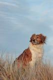 Cultive el perro de ovejas en una pista herbosa de la duna de arena imágenes de archivo libres de regalías
