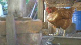 Cultive el pollo del pájaro del pelirrojo en yarda de un vídeo de la cámara lenta del animal doméstico almacen de metraje de vídeo