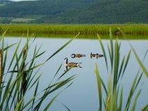 Cultive la charca con la familia canadiense de los gansos con las colinas verdes en fondo, colas de gato en primero plano Imágenes de archivo libres de regalías