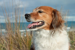 Cultive o cão de carneiros em uma trilha gramínea da duna de areia Fotos de Stock Royalty Free