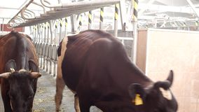 Cultive para las vacas, ordeñando la leche, la producción de leche en una granja, las vacas y la leche, kine almacen de video