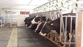 Cultive para las vacas, ordeñando la leche, la producción de leche en una granja, las vacas y la leche, kine almacen de metraje de vídeo