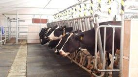 Cultive para las vacas, ordeñando la leche, la producción de leche en una granja, las vacas y la leche, kine, cultivando metrajes