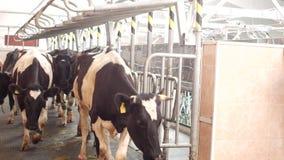 Cultive para las vacas, ordeñando la leche, la producción de leche en una granja, las vacas y la leche, kine, industria metrajes