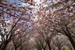 Cultive un huerto con los árboles florecientes inspirados por las pinturas de Van Gogh entre el museo de Van Gogh y el Rijksmuseu Imagen de archivo libre de regalías