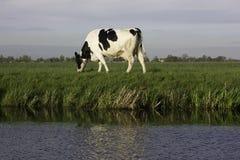 Cultive vacas holandesas com fundo azul e verde Fotos de Stock Royalty Free