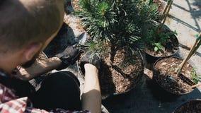 Cultiveert de close-upa mannelijke sprinkhaan in vuisthandschoenen de grond in een grote flushhophot De tuinman die decoratief pl stock footage