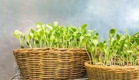 Cultivez facilement les pousses d'intérieur de tournesol en textile de rotin Photo libre de droits