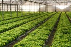 Cultivez la salade en serre chaude photo libre de droits