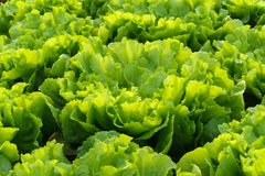 Cultivez la salade en serre chaude image libre de droits