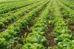 Cultivez la salade en serre chaude photo stock