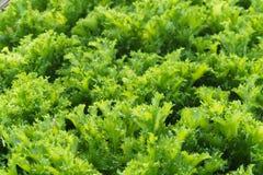 Cultivez la salade en serre chaude images libres de droits