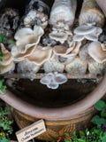 Cultivez les champignons image stock