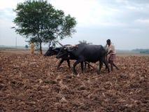 Cultivo com búfalo imagens de stock