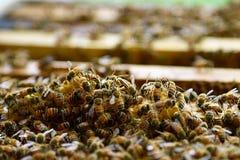Cultivo da abelha Fotos de Stock Royalty Free