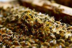 Cultivo da abelha Imagens de Stock Royalty Free