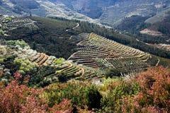 Cultivo da cereja e da azeitona nos terraços Foto de Stock Royalty Free