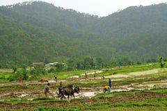 Cultivo da etapa e cultivo verdes do arroz em h rural Fotos de Stock
