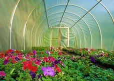 Cultivo da flor na estufa Fotos de Stock Royalty Free