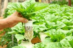 Cultivo da hidroponia Foto de Stock Royalty Free