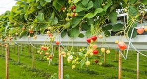 Cultivo da morango fora Imagens de Stock Royalty Free