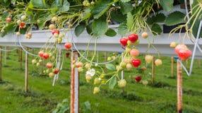 Cultivo da morango fora Fotos de Stock