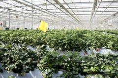 Cultivo da morango nas estufas. Imagens de Stock