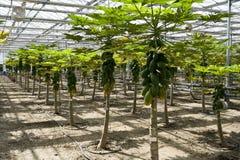 Cultivo da papaia nas estufas. Imagem de Stock