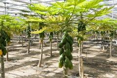 Cultivo da papaia nas estufas. Foto de Stock Royalty Free