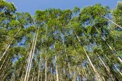 Cultivo da plantação das árvores Fotografia de Stock Royalty Free