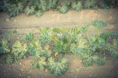 Cultivo da polpa de verão orgânica do abobrinha em Kent, lavando imagem de stock royalty free