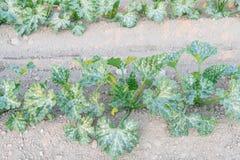 Cultivo da polpa de verão orgânica do abobrinha em Kent, lavando foto de stock royalty free