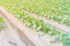 Cultivo da polpa de verão orgânica do abobrinha em Kent, lavando fotografia de stock