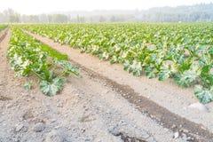 Cultivo da polpa de verão orgânica do abobrinha em Kent, lavando imagens de stock royalty free