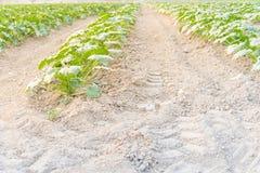 Cultivo da polpa de verão orgânica do abobrinha em Kent, lavando fotos de stock