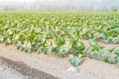 Cultivo da polpa de verão orgânica do abobrinha em Kent, lavando fotografia de stock royalty free