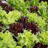 Cultivo da salada Imagem de Stock Royalty Free